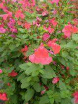 Salvia grahamii microphylla
