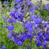 Salvia greggi \'Blue Note\'