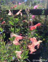 Salvia greggi \'Orange Pressée\'