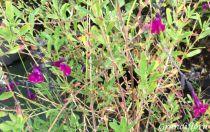 Salvia greggi \'Violet\'