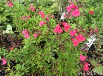 Salvia greggi Rose intense