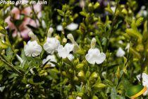 Salvia greggii \'Alba\'