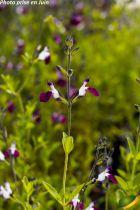 Salvia greggii \'Amethyst Lips\'