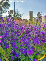 Salvia greggii \'Blue\'