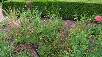 Salvia greggii \'Peach\'
