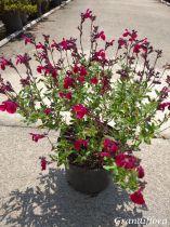 Salvia greggii Mirage® Cherry Red