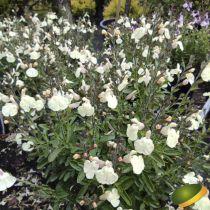 Salvia greggii Mirage® Cream