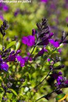 Salvia greggii Mirage® Deep Purple