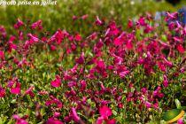 Salvia greggii Mirage® Hot Pink