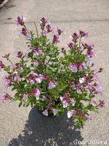Salvia greggii Mirage® Soft Pink