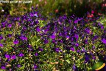 Salvia greggii Mirage® Violet