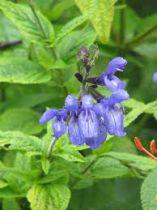 Salvia guarantica \'Black and Blue\'