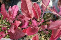 Salvia lyrata \'Purple Knockout\'