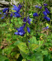 Salvia microphylla \'Bleu\'