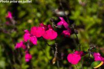 Salvia microphylla \'Cera Potosi\'