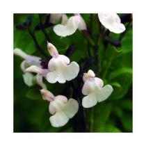 Salvia microphylla \'Heatwave Glimmer\'®