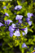 Salvia microphylla \'So Cool Pale Blue\'®