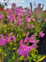 Salvia microphylla \'Trenance\'