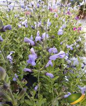 Salvia microphylla Delice Aquamarine®