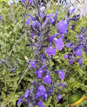 Salvia microphylla Delice Feline®