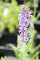 Salvia nemorosa \'Blauhugel\'
