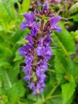 Salvia nemorosa \'Mainacht\'