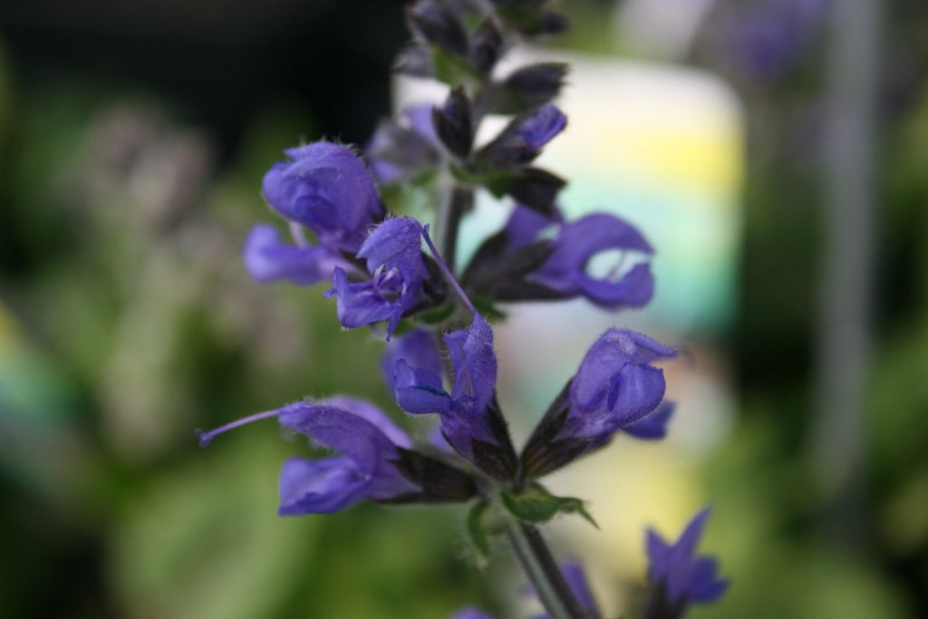 Salvia sylvestris \'Rhapsody in Blue\'