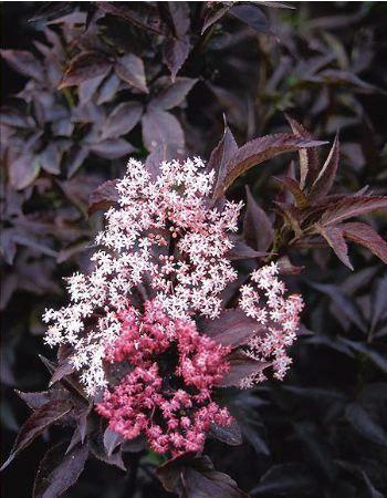 Sambucus* nigra \'Black Beauty\'