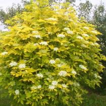 Sambucus nigra \'Aurea\'