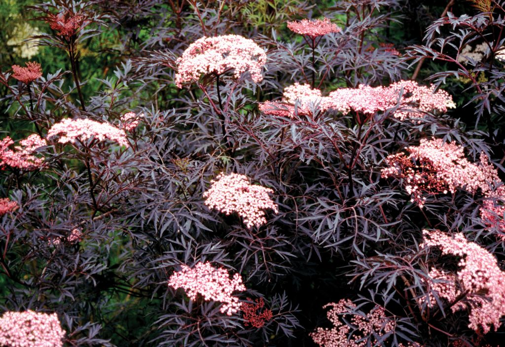 Sambucus nigra \'Black Lace\'