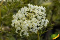 Sambucus nigra \'Laciniata\'