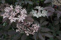 Sambucus nigra \'Purpurea\'