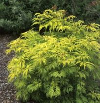Sambucus racemosa \'Sutherland Gold\'