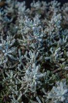 Santolina Chamaecyparisus, arbuste persistant au feuillage gris aromatique et aux fleurs en boules jaunes en fin de printemps, début d\'été.
