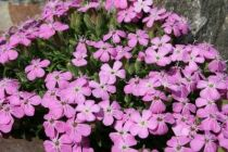 Saponaria \'Bressingham Pink\'