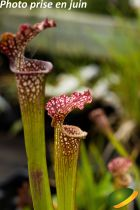 Sarracenia leucophylla x stevensii