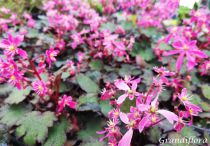 Saxifraga \'Black Ruby\'