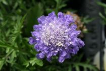 Scabiosa japonica \'blue note\'