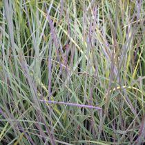 Schizachyrium scoparium \'Prairie Blues\'