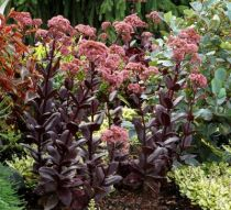 Sedum \'Chocolate Drop\'