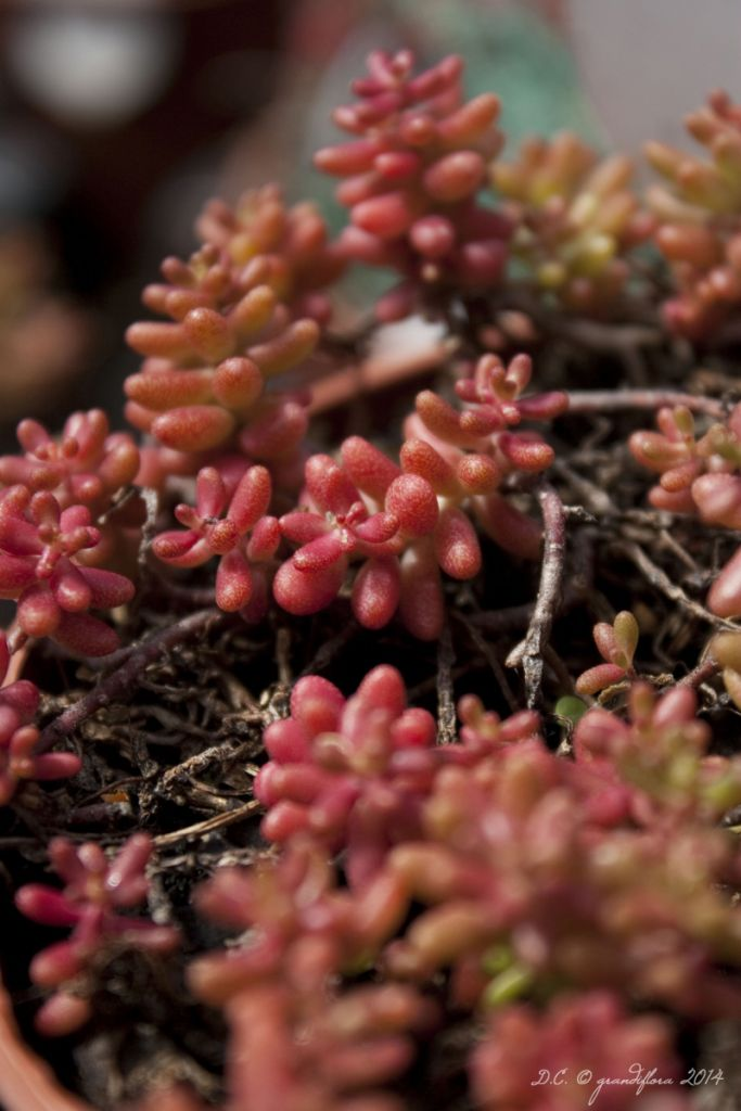 Sedum album \'Coral Carpet\'