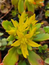 Sedum floriferum \'Weihenstephaner Gold\'