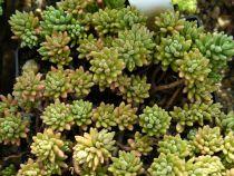 Sedum pyreneum = gypsicola