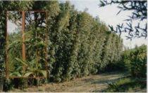 bambou.semiarundinaria fastuosa