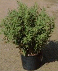 Shibataea \'Kumasaca\'