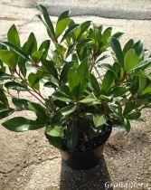 Skimmia japonica \'Rubella\'