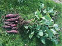 Smallanthus sonchifolius - Poire de terre rouge