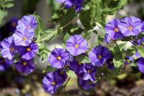 Solanum * rantoneti