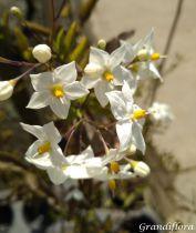 Solanum* jasminoides Blanc