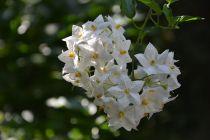 Solanum* Jasminoides